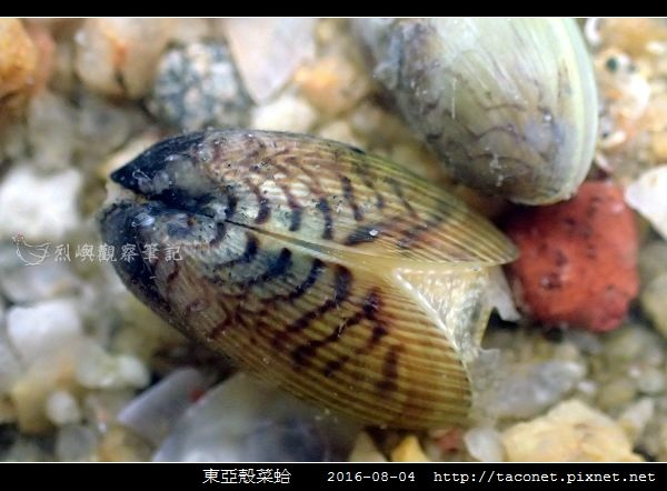 東亞殼菜蛤_06.jpg
