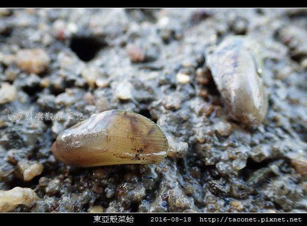 東亞殼菜蛤_08.jpg
