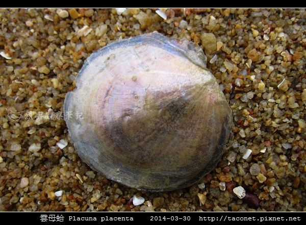 雲母蛤 Placuna placenta (3).jpg