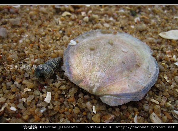 雲母蛤 Placuna placenta (5).jpg