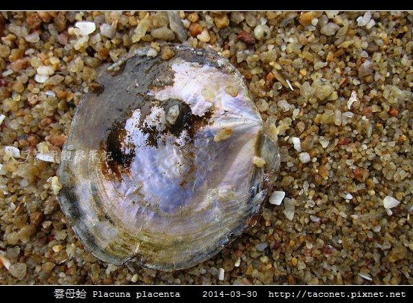 雲母蛤 Placuna placenta (4).jpg