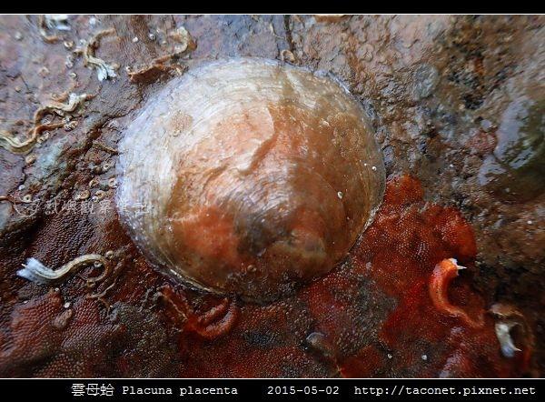 雲母蛤 Placuna placenta (6).jpg