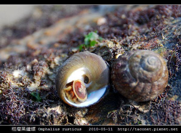 粗瘤黑鐘螺 Omphalius rusticus_1.jpg