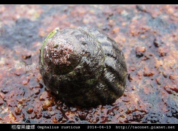 粗瘤黑鐘螺 Omphalius rusticus_2.jpg