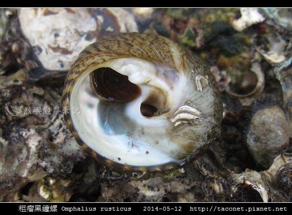 粗瘤黑鐘螺 Omphalius rusticus_4.jpg