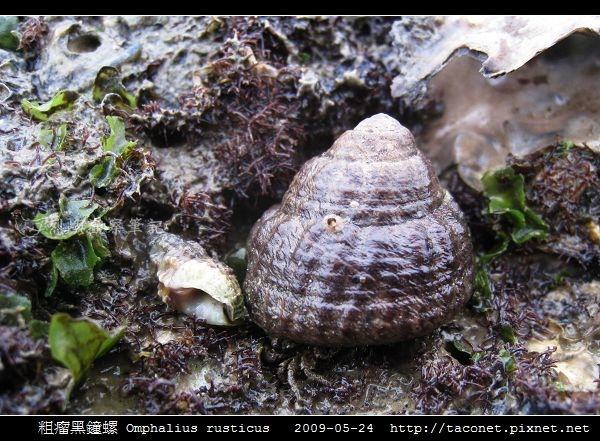 粗瘤黑鐘螺 Omphalius rusticus_5.jpg