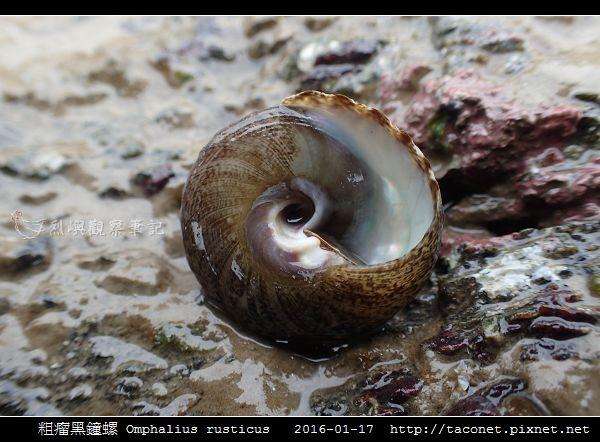 粗瘤黑鐘螺 Omphalius rusticus_6.jpg