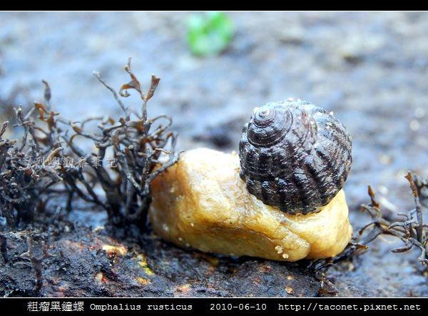 粗瘤黑鐘螺 Omphalius rusticus_8.jpg