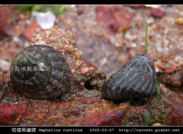 粗瘤黑鐘螺 Omphalius rusticus_7.jpg