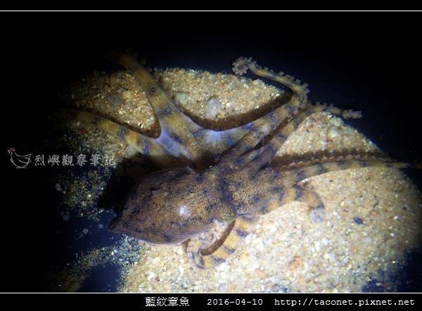 藍紋章魚_04.jpg