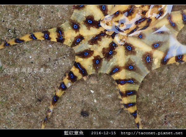 藍紋章魚_08.jpg