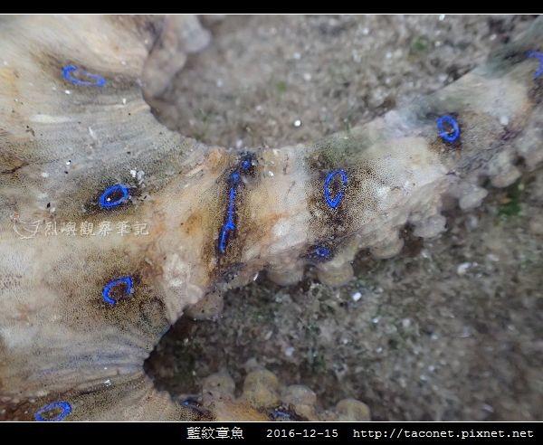 藍紋章魚_10.jpg