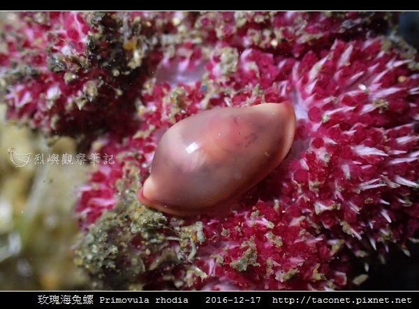 玫瑰海兔螺 Primovula rhodia_01.jpg