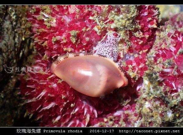 玫瑰海兔螺 Primovula rhodia_02.jpg