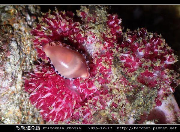 玫瑰海兔螺 Primovula rhodia_04.jpg