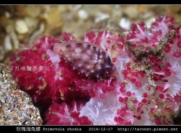 玫瑰海兔螺 Primovula rhodia_06.jpg