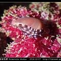 玫瑰海兔螺 Primovula rhodia_05.jpg