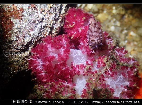 玫瑰海兔螺 Primovula rhodia_07.jpg