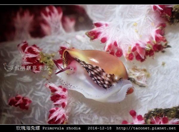 玫瑰海兔螺 Primovula rhodia_09.jpg
