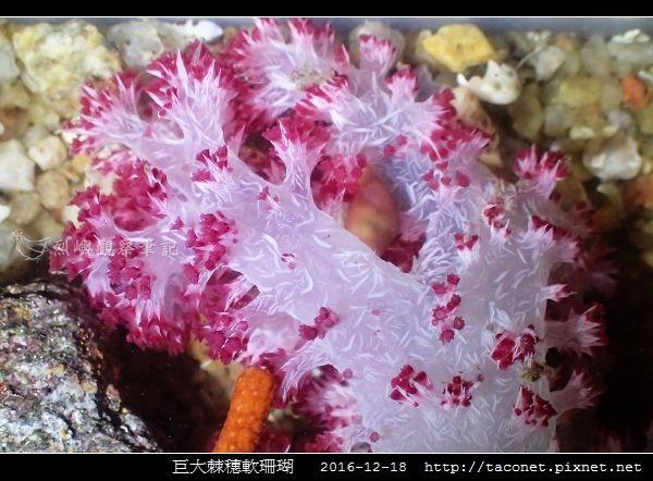 巨大棘穗軟珊瑚 Dendronephthya gigantea_7.jpg