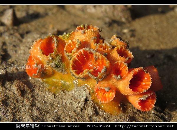圓管星珊瑚 Tubastraea aurea_1.jpg