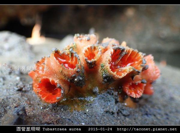 圓管星珊瑚 Tubastraea aurea_2.jpg