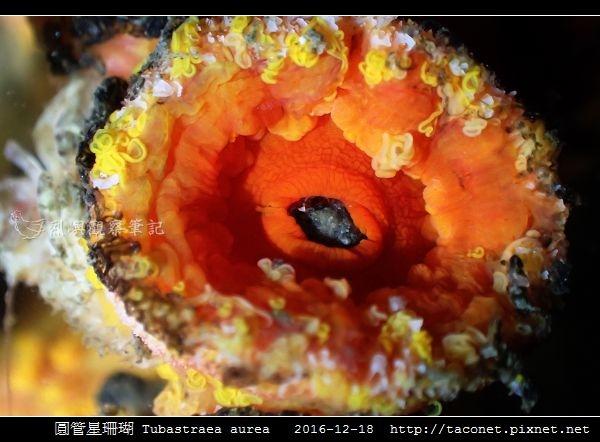 圓管星珊瑚 Tubastraea aurea_4.jpg