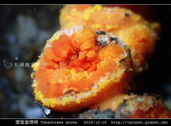 圓管星珊瑚 Tubastraea aurea_3.jpg