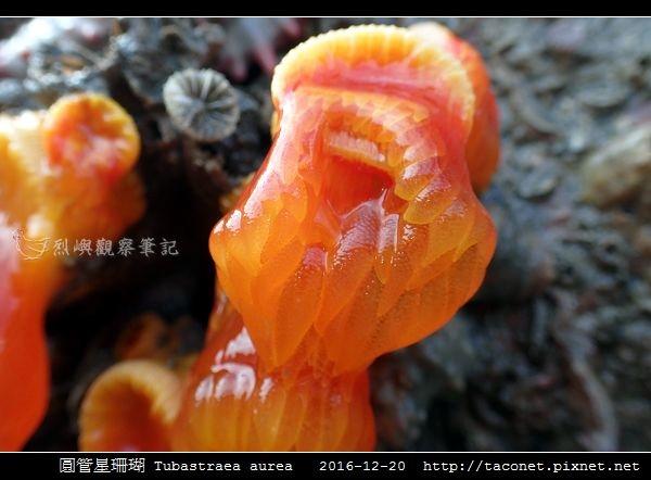 圓管星珊瑚 Tubastraea aurea_6.jpg