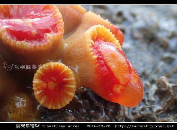 圓管星珊瑚 Tubastraea aurea_5.jpg
