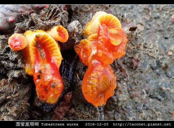圓管星珊瑚 Tubastraea aurea_8.jpg