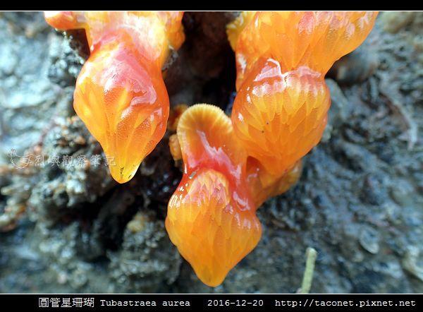 圓管星珊瑚 Tubastraea aurea_7.jpg
