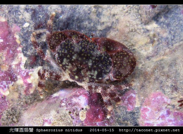 光輝圓扇蟹 Sphaerozius nitidus_01.jpg