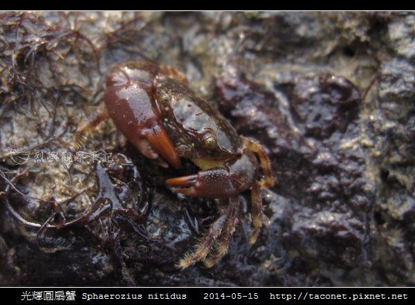 光輝圓扇蟹 Sphaerozius nitidus_02.jpg
