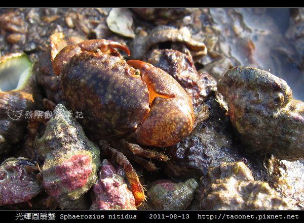 光輝圓扇蟹 Sphaerozius nitidus_04.jpg