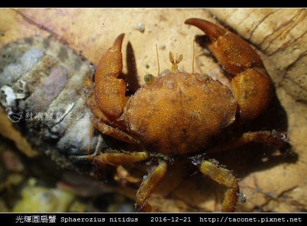 光輝圓扇蟹 Sphaerozius nitidus_07.jpg