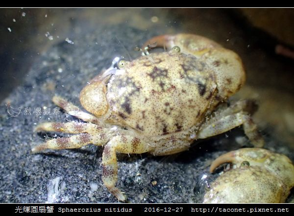光輝圓扇蟹 Sphaerozius nitidus_09.jpg