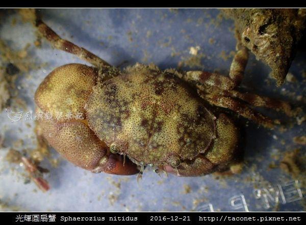 光輝圓扇蟹 Sphaerozius nitidus_08.jpg