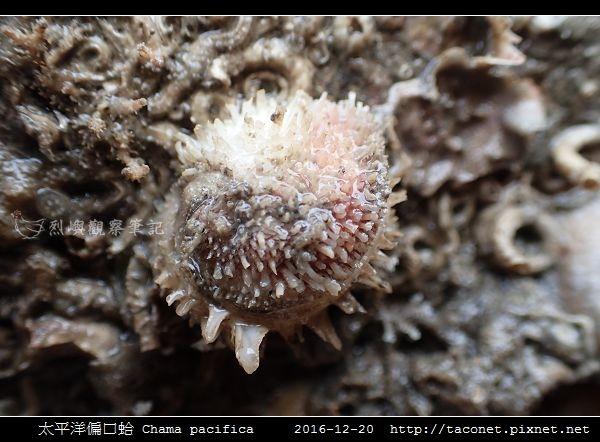 太平洋偏口蛤 Chama pacifica_2.jpg