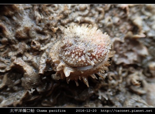 太平洋偏口蛤 Chama pacifica_1.jpg