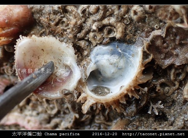 太平洋偏口蛤 Chama pacifica_3.jpg
