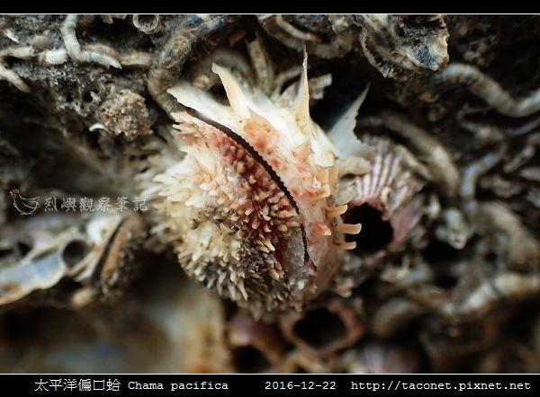 太平洋偏口蛤 Chama pacifica_5.jpg