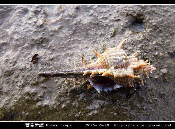 寶島骨螺 Murex trapa _1.jpg