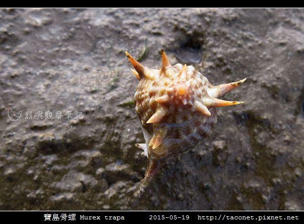寶島骨螺 Murex trapa _3.jpg