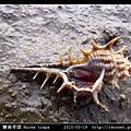 寶島骨螺 Murex trapa _2.jpg