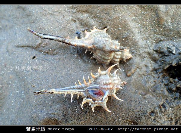 寶島骨螺 Murex trapa _4.jpg