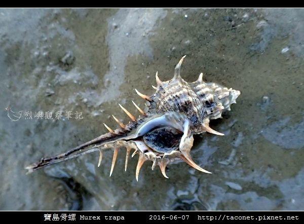寶島骨螺 Murex trapa _5.jpg