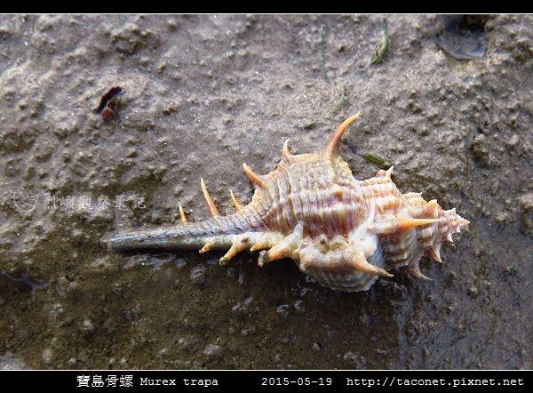 寶島骨螺 Murex trapa _6.jpg