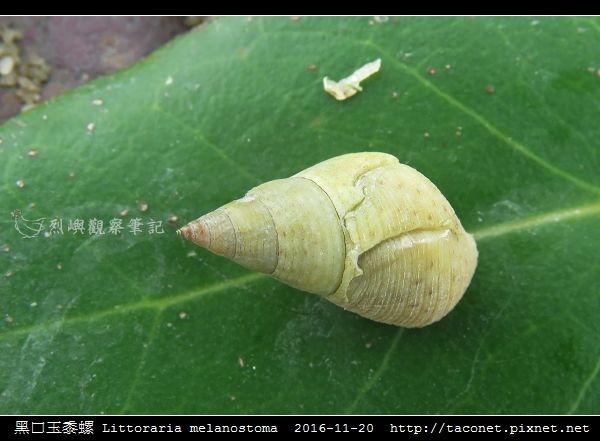 黑口玉黍螺 Littoraria melanostoma_2.jpg