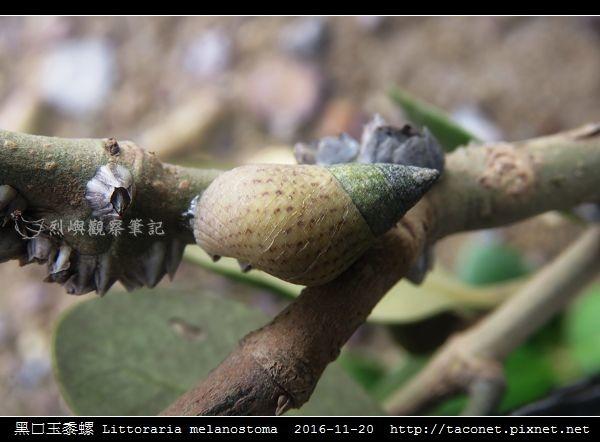 黑口玉黍螺 Littoraria melanostoma_4.jpg